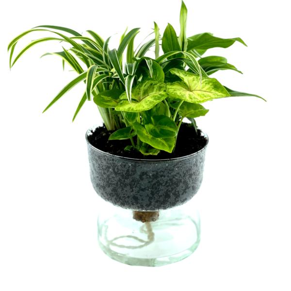 3 plantjes op water in een glasschaal