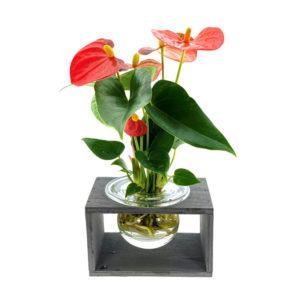 Hydroponie fleur in houder