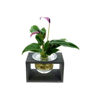 Anthurium in glas, Hydroponie fleur