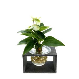 Hydroponie fleur wit