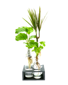 drie plantjes op water